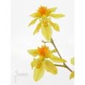 Orchidée 'Oncidium cheirophorum 'S'