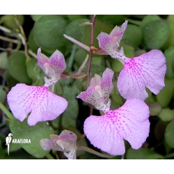 Oncidium variegatum 'Cuba'