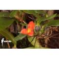 Orchidée 'Ornithidium sophronitis 'mounted'