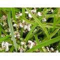 Orchidée 'Ornithophora radicans'