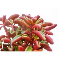 Peperomia graveolens