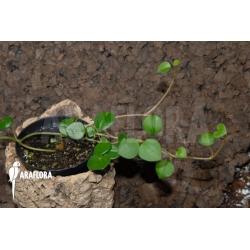 Peperomia montium
