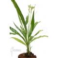 Orchidée 'Phaius tankervilleae'