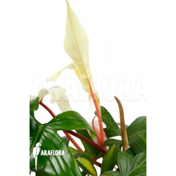 Philodendron Florida Ghost 'L'