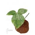 Philodendron applanatum