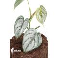 Philodendron brandtianum starter