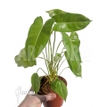 Philodendron burle-marx