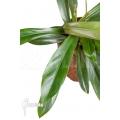 Philodendron crassinervium