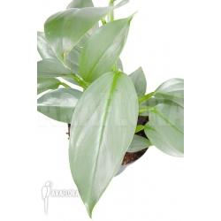 Philodendron hastatum Silver Sword 'M'