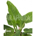 Philodendron imperial variegata A1
