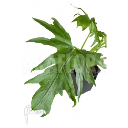 Philodendron warsewenii