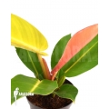 Philodendron x 'Prince of Orange' Starter