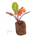 Philodendron x 'Red king' 'S'