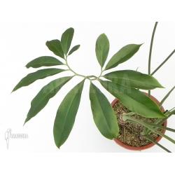 Philodendron goeldii