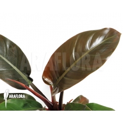 Philodendron x 'Red Baron'