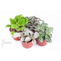 Pilea package 4