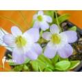 Grassette 'Pinguicula crystallina subsp. Hirtiflora'