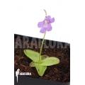 Grassette 'Pinguicula grandiflora'