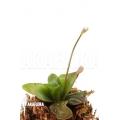 Grassette 'Pinguicula planifolia'