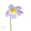 Grassette ´Pinguicula primuliflora'