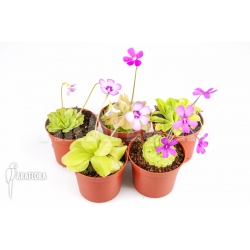 Pinguicula Starter package 5