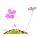 Grassette ´Pinguicula x 'Weser'