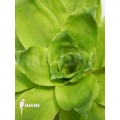 Bromélia 'Pitcairnia tabuliformis'