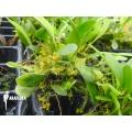 Orchidée 'Platystele stenostachya'