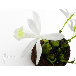 Pleione formosana white