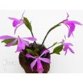 Orchidée 'Pleione formosana purple'