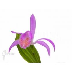 Pleione formosana purple