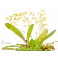 Orchidée 'Pleurothallis grobyi'