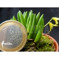 Orchidée 'Pleurothallis leptotifolia'