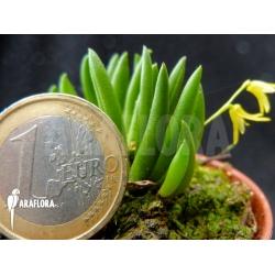 Pleurothallis leptotifolia