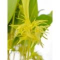 Orchidée 'Pleurothallis ruscifolia'