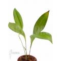 Orchidée 'Pleurothallis secunda'