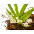 Orchidée 'Podangis dactyloceras'