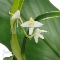 Orchidée 'Polystachya fallax'