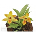 Orchidée 'Promenaea x (Sunlight)'