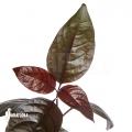 Pseuderanthemum atropurpureum 'Rubrum'