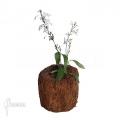 Pseuderanthemum variabile 'S'