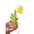 Orchidée 'Psygmorchis pusilla' 'S'