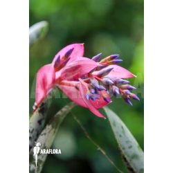 Quesnelia marmorata flower