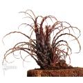Bromélia 'Racinaea crispa' started