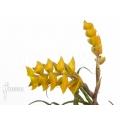 Bromélia 'Racinaea crispa'