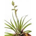 Bromélia 'Racinaea schumanniana'