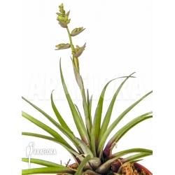 Racinaea schumanniana