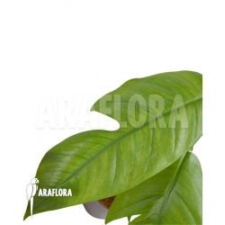 Rhaphidophora pinnata