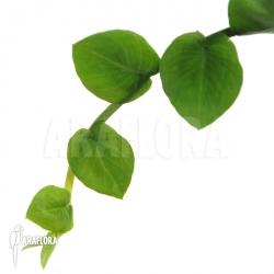 Rhapidophora celatocaulis 'Small species'