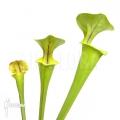Plante à urnes Américaine ´Sarracenia flava (M)'